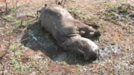 MS Shot of dead white rhinoceros calf / Marsdale, KwaZulu Natal, South Africa