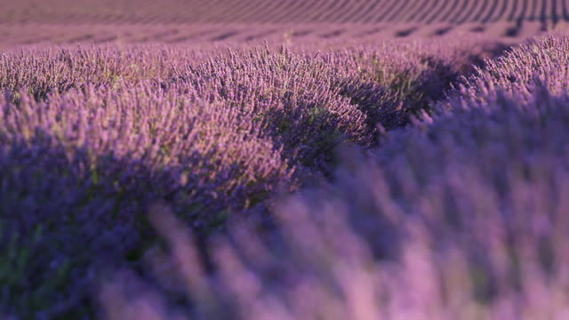 CU R/F Shot of deep purple lavender rows surrounded by bees / France