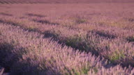 MS PAN Shot of deep purple lavender rows surrounded by bees / France
