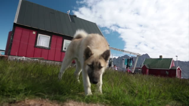 MS SLO MO Shot of Dog walking around yard looking toward with kids playing on swings and laundry hanging on line with blue sky / Ilulissat, Greenland