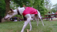 MS LA Shot of Dog wearing and eating biscuit in park with people / Arlington, Virginia, United States