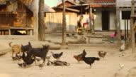 MS SLO MO Shot of dogs playing with chicken pecking around / Muang Ngoi, Luang Prabang, Laos