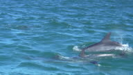 MS ZI Shot of dolphins swimming in ocean / Port Elizabeth, Eastern Cape, South Africa