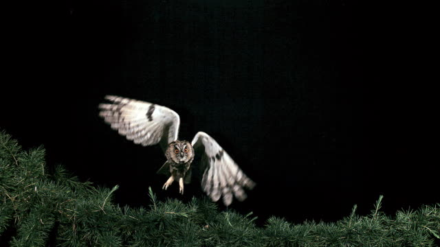 MS SLO MO Shot of Eared Owl Adult in Flight Taking off from Tree / Vieux Pont en Auge, Normandy, France
