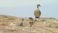 MS Shot of Egyptian Goose and its ducklings on rock / South Africa
