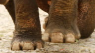 CU TU SLO MO Shot of elephant legs and elephant head / Elephant park near Luang Prabang, Luang Prabang, Laos