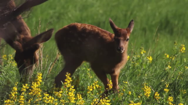 MS Shot of Elk/wapiti (Cervus canadensis) newborn elk calf walks over to twin in meadow of wildflowers / Estes Park, Colorado, United States