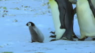 MS PAN Shot of Emperor penguin chick walking through colony with adults which round over it / Dumont D'Urville Station, Adelie Land, Antarctica