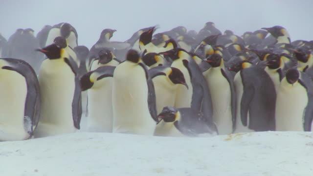 MS Shot of Emperor penguin massed huddle with penguins actively breaking up on ground in blizzard / Dumon D Urville Station, Adleie Land, Antarctica