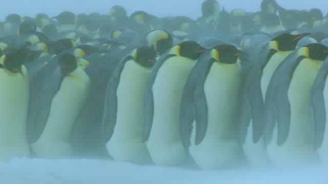 MS Shot of Emperor penguin massed huddle with penguins walking along edge in heavy blizzard / Dumon D Urville Station, Adleie Land, Antarctica