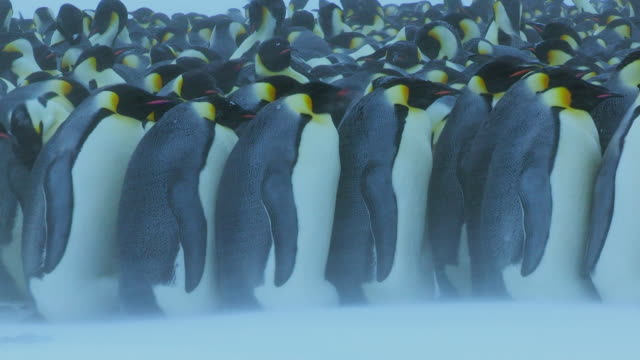 'MS Shot of Emperor penguin massed huddle with penguins walking left to right through ground in blizzard / Dumont D Urville Station, Adelie Land, Antarctica '