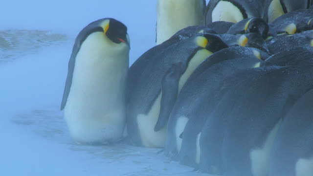 MS Shot of Emperor penguin massed huddle with single penguin walking towards along edge in heavy blizzard / Dumon D Urville Station, Adleie Land, Antarctica