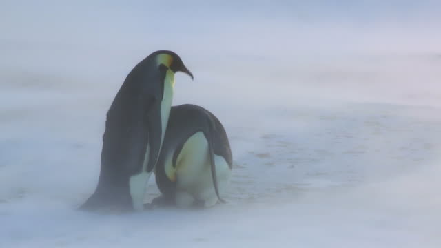 MS Shot of Emperor penguin pair in blizzard handover egg / Dumont D'Urville Station, Adelie Land, Antarctica