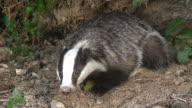 CU Shot of European Badger (meles meles) looking around at den entrance / Normandy, Calvados, France