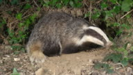 CU Shot of European Badger (meles meles) standing at Den Entrance / Normandy, Calvados, France