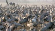 WS PAN SLO MO Shot of European cranes feeding in field amongst flock / Hula Valley, Galilee, Israel