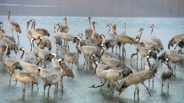 MS PAN Shot of European Cranes resting in shalow water during migration / Upper Galilee, Israel