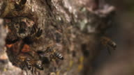 MS SLO MO Shot of European Honey Bee, apis mellifera, adults in flight / Calvados, Normandy, France