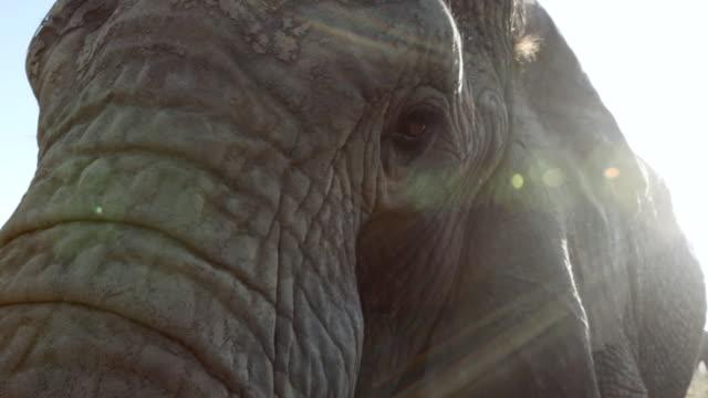 CU Shot of eye elephant / South Africa