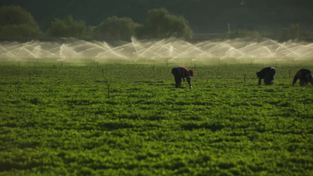MS SLO MO PAN Shot of farmworkers picking fruit in field in front of sprinkler / Oxnard, California, United States