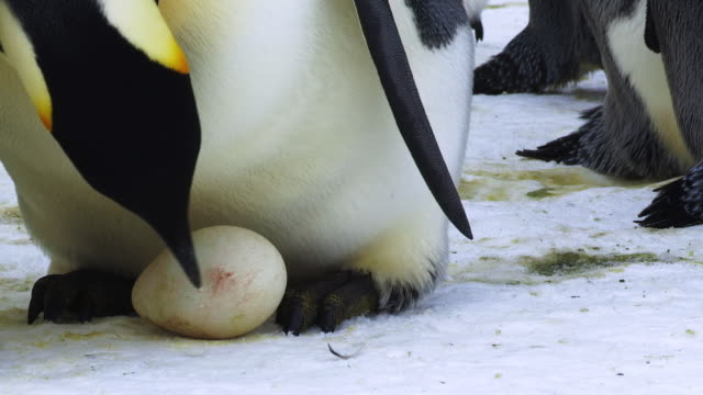 Emperor Penguins Eggs