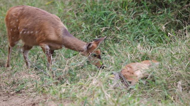 MS TS Shot of Female bushbuck sniffing python strangling bushbuck foal  / Kruger National Park, Mpumalanga, South Africa