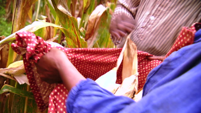 CS ZO ZI Shot of female slave harvests corn and puts husks in her apron / Culpeper, Virginia, United States