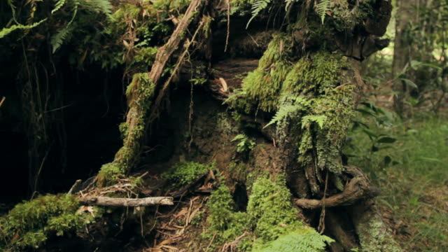 MS TU Shot of ferns and Moss covered fallen tree in rain forest / Koke'e State Park, Kauai, Hawaii, United States