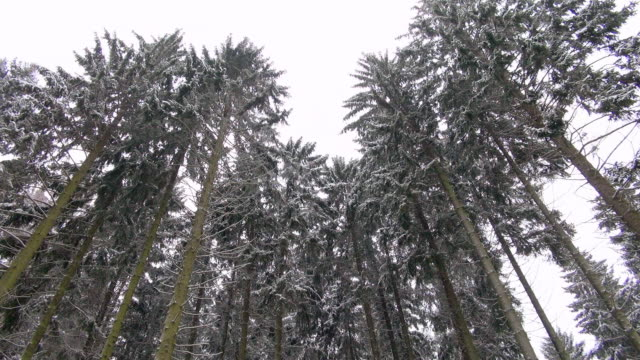 WS Shot of fir forest in winter with snow / Erbeskopf, Hunsruck, Rhineland Palatinate, Germany