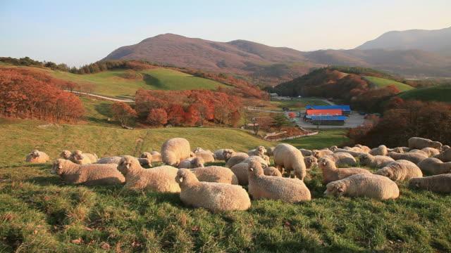 MS SHot of flock of sheep in pasture/ Pyeongchang, Gangwon-do, South Korea