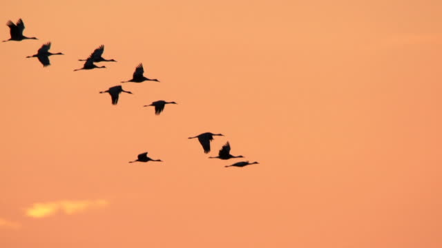 MS TS SLO MO Shot of flocks of Sandhill Cranes, Grus canadensis flying in sky at sunset / Kearney, Nebraska, United States