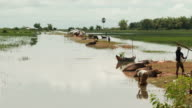 WS Shot of flooded rice paddies in Puok Area with water buffalo farmers and children / Siem Reap, Siem Reap Province, Cambodia