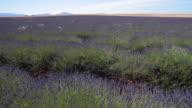 TU Shot of flowering lavender in field