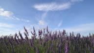 TD Shot of flowering lavender in field