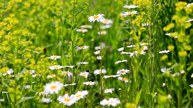 MS Shot of flowery meadow with marguerite, Chrysanthemum / Losheim, Saarland, Germany
