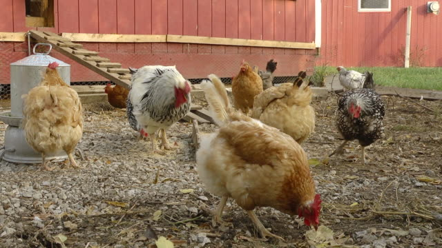 MS SLO MO Shot of Free range hens and rooster scratch and feed in farm yard / Chelsea, Michigan, United States