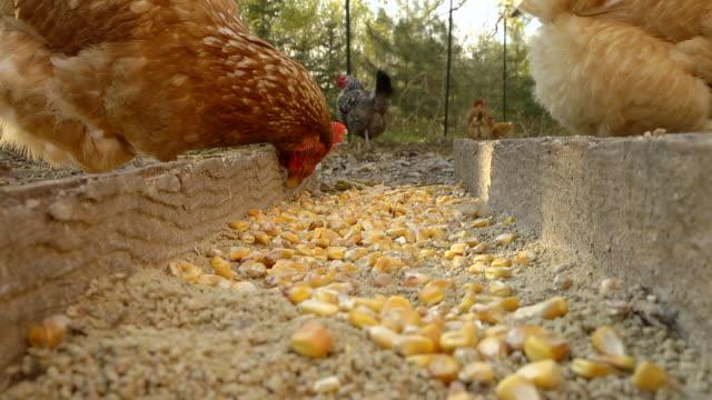 MS Shot of Free range hens feed on corn in farm yard / Chelsea, Michigan, United States