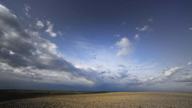 WS Shot of Geese migrating at sunset / Lodi, California, United States
