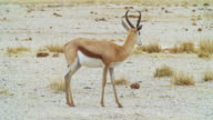 MS Shot of Gemsbok standing in savannah / Etosha National Park, Namibia