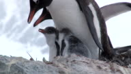 CU Shot of Gentoo penguin (Pygoscelis papua) two chicks in nest, adult feeding chick / Antarctica