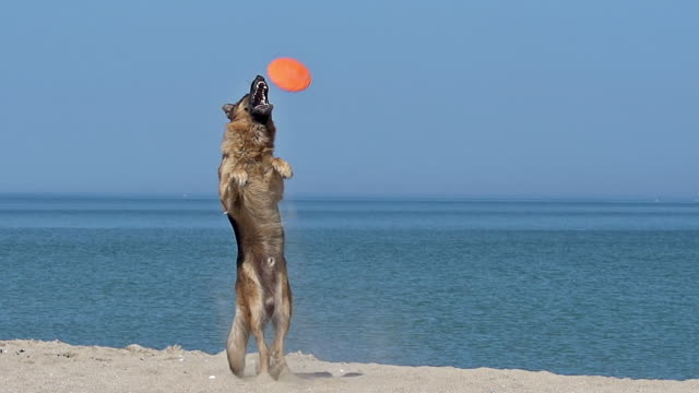 MS SLO MO Shot of German shepherd, male catching frisbee, beach / Calvados, Normandy, France