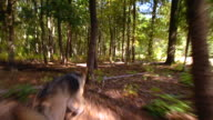 MS TS Shot of german shepherd searching through woods / United States