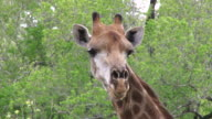 CU TS Shot of Giraffe chewing and feeding on fresh buffalo thorn leaves  / Kruger National Park, Mpumalanga, South Africa