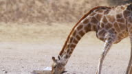 CU TS Shot of Giraffe drinking water from water hole / Etosha National Park, Namibia