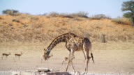 MS Shot of Giraffe drinking water from waterhole in savannah with Springboks in back side / Etosha National Park, Namibia