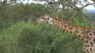 MS Shot of giraffe eating leaves off tree / South Africa