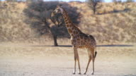 MS Shot of Giraffe on savannah / Etosha National Park, Namibia