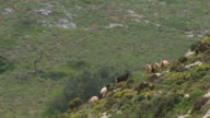 MS AERIAL Shot of goats climbing up mountain / Pserimos, Dodecanese, Greece