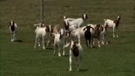 Shot of goats in field running toward camera.