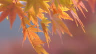 CU Shot of Golden autumn leaves of Japanese maple tree move in breeze / Mclean, Virginia, United States